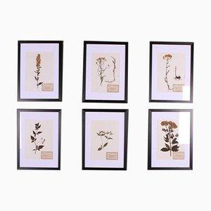 Dutch Herbariums, Set of 6