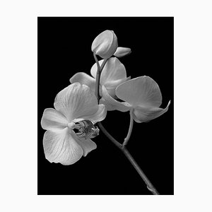 Ian Sanderson, Orchid Archival Pigment Print, 1991, Oversize Black and White Photography