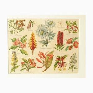 Cromolitografia botanica antica di Meyers Konversations Lexikon