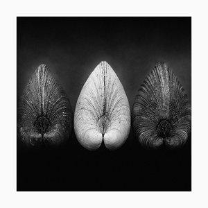 Venusmuscheln von Ian Sanderson -1984 - Signierter limitierter archivalischer Pigmentdruck, Auflage 5, Quadratisches Format