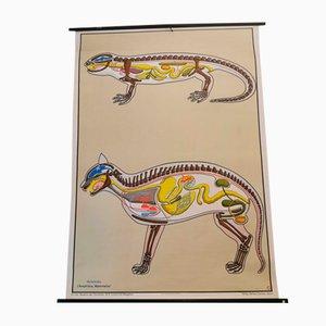 Animal Anatomy Poster, 1970s