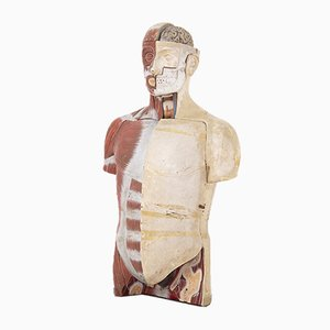 Vintage Medical Anatomical Bust by Paravia Torino