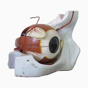 University Anatomical Eye Model, USA, 1950s
