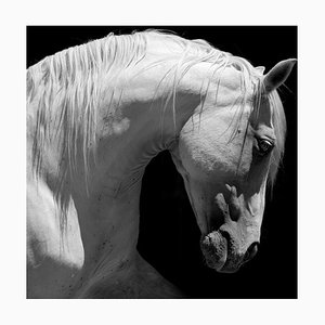 White Stallion Horse Andalusian C-Type Print by 66North
