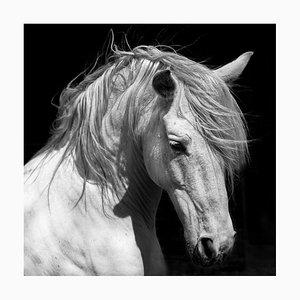 White Stallion Horse andalusian C-Type Druck von 66North