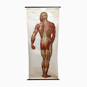 Póster o gráfico mural sobre los músculos de la escuela de medicina de Deutsches Hygiene Museum