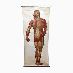Poster o stampa raffigurante i muscoli di una scuola di medicina di Deutsches Hygiene Museum