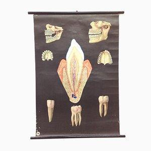 Zahnarzt Dental Development Medical School Poster