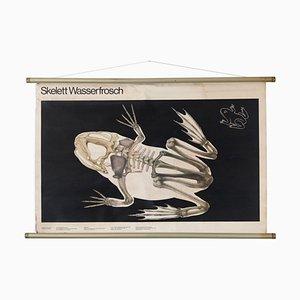 Vintage Educational Frog Skeleton Chart, GDR, 1980s