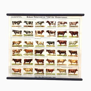 Antique School Poster with Various Cow and Cattle Breeds