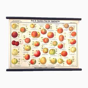 Antique School Poster with Various Old Apple Varieties