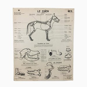 Vintage French Anatomical Chart of Dog