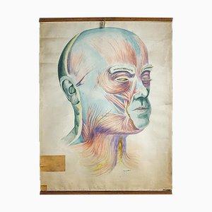 Póster anatómico vintage de rostro humano