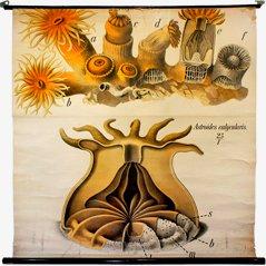 Affiche Anthozoa par Paul Pfurtscheller