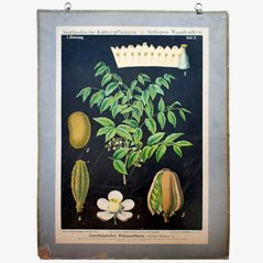 American Mahogany Tree' Wall Chart by Zippel & Bollmann