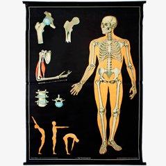 Das Knochengerüst' Lehrtafel