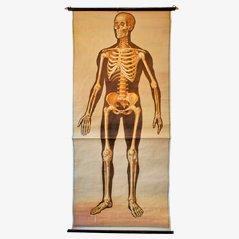 Medizinisches Wandbild Skelett
