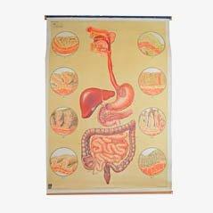 Vintage Rolltafel aus dem Deutschen Hygiene Museum Dresden, 1920er