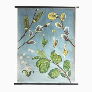 Vintage Willow Botanical Poster by Jung, Koch, & Quentell for Hagemann