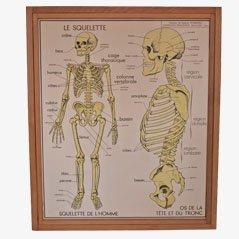 Pósters de anatomía vintage, años 50. Juego de 2