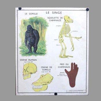 Póster de escuela con anatomía de un gorila y un gato, años 50 en ...