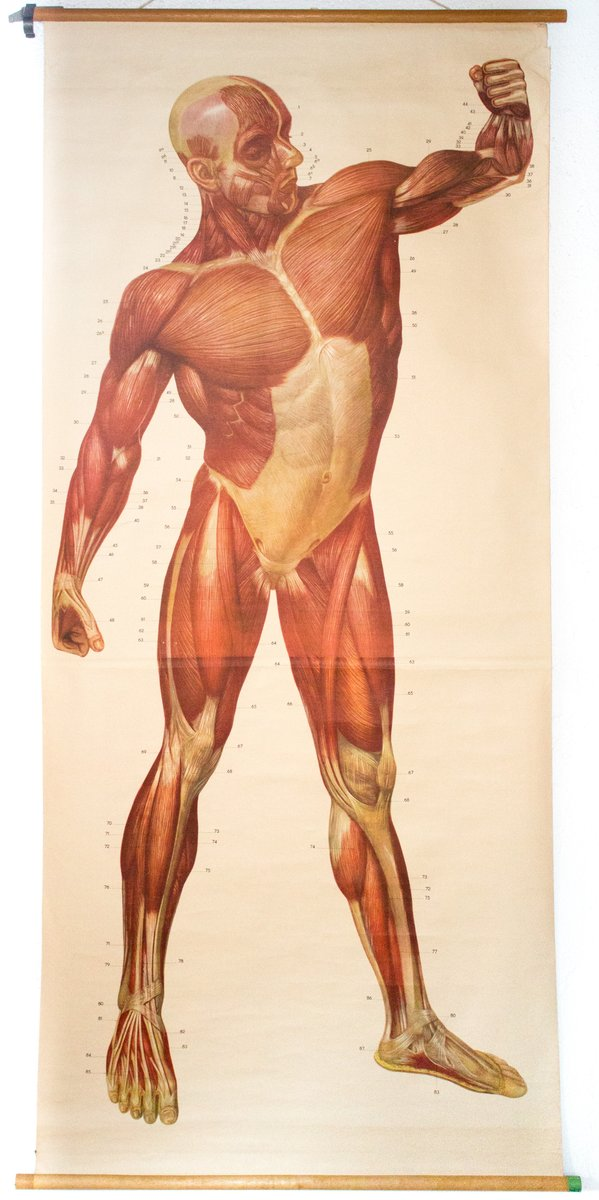Muscles Of The Human Body Wall Chart From Deutsches Hygiene