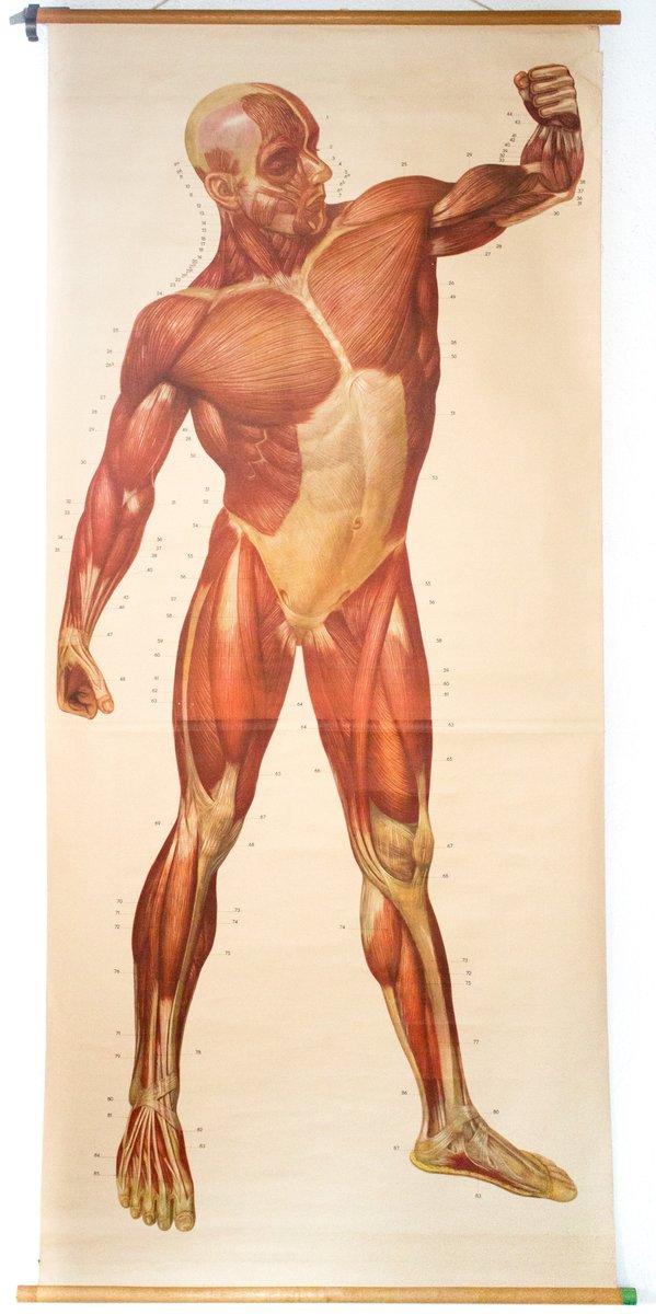 Muskeln des Menschlichen Körpers Wandkarte von Deutsches Hygiene ...