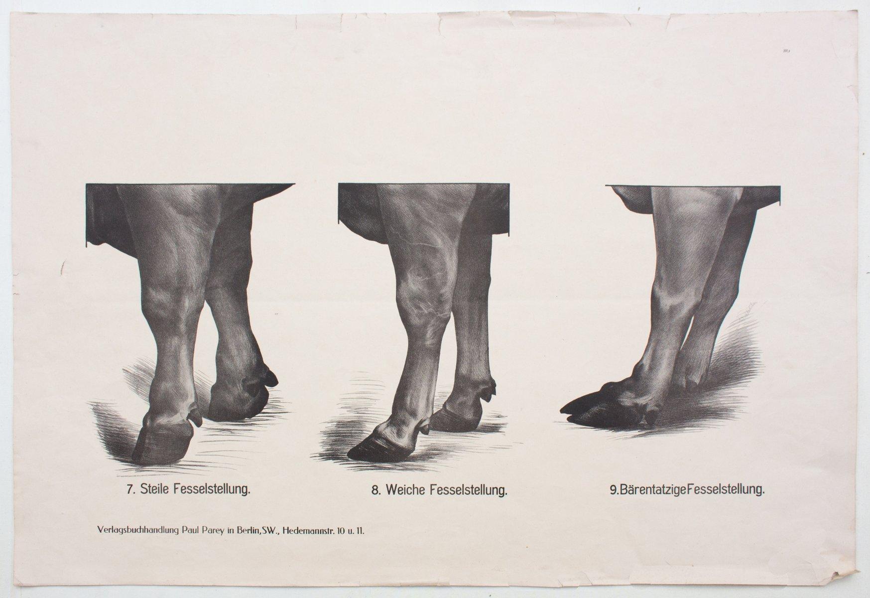 Póster con anatomía de las vacas de Dr. G Pusch para Paul Parey ...