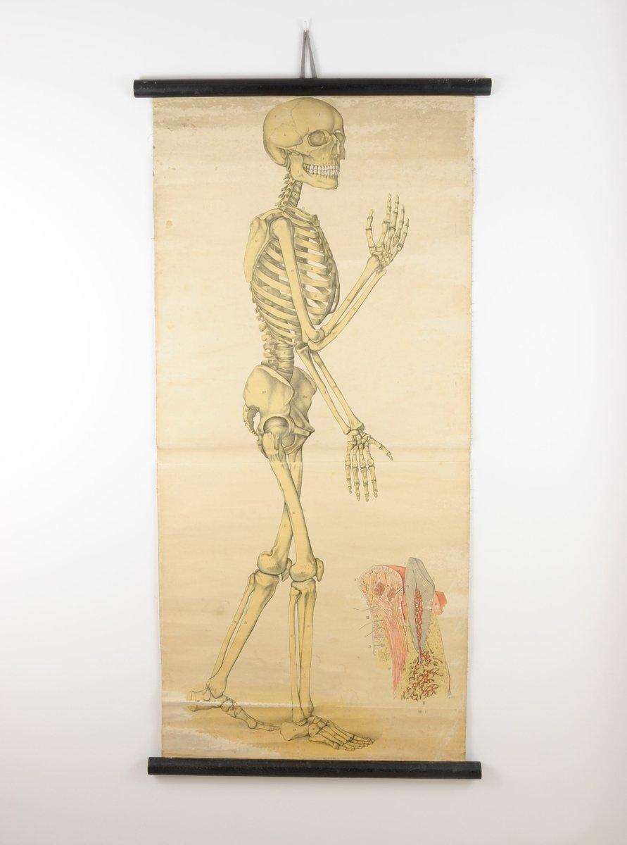 Pósteres antiguo de anatomía de Foedisch Krantz para C. C. Meinhold ...