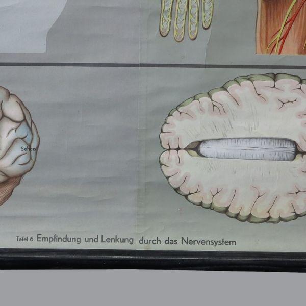 Vintage Lehrkarte des Nervensystems bei Pamono kaufen
