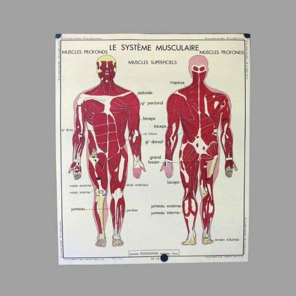 Zweiseitges Vintage Schulposter Anatomie des Menschen, 1950er bei ...